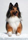 представлять щенка Стоковые Фотографии RF