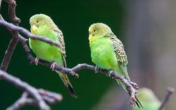 представлять parakeets Стоковое Фото