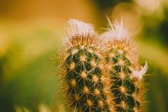 Предупредите leninghausii Eriocactus изображения тона, кактус крупного плана в стоковые фотографии rf