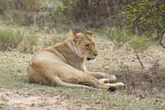 предусматривать львицу стоковая фотография rf