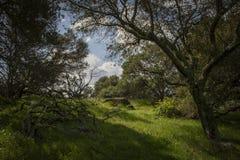 Предыдущая весна в холмах Калифорния через дубы стоковые изображения rf