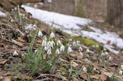 Предыдущая весна, snowdrops в Альпах Стоковое Изображение RF