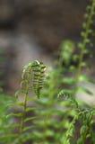 предыдущая восточная весна tn папоротников Стоковая Фотография RF