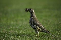 Предыдущая птица Стоковое Фото