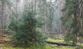 Предыдущее утро весны в coniferous лесе стоковое изображение