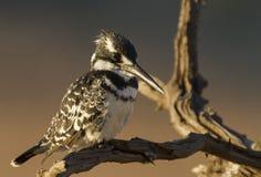 предыдущее утро света kingfisher pied Стоковые Фотографии RF