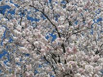 Предыдущее цветене вишневого цвета в апреле стоковое изображение