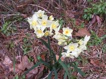 Предыдущие Daffodils Narcissus весны стоковые фото
