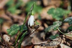 Предыдущие snowdrops промахов леса с пчелой стоковая фотография rf