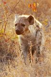 предыдущий гулять утра hyena стоковая фотография rf