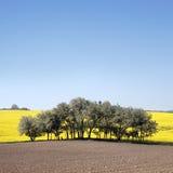 предыдущий желтый цвет весны rapeseed масла поля Стоковое Фото