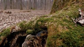 Предыдущий лес весны с зеленым концом мха вверх видеоматериал