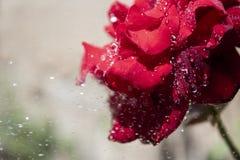 Прекрасная красная роза стоковая фотография rf