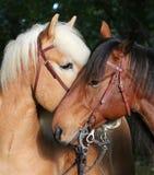 Прекрасные прижимаясь лошади стоковая фотография rf