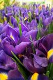 Прекрасные радужки цветков стоковое изображение
