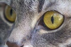 Прекрасный кот с большими глазами, серое мех мой маленький красивый тигр стоковые фото