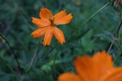 Прекрасный оранжевый цветок в саде стоковые изображения