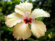 Прекрасный светлооранжевый цветок гибискуса стоковое изображение