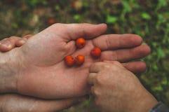 Прелестная комплектация руки младенца ashberry с руками людей и смотреть на предпосылке природы closeup стоковая фотография