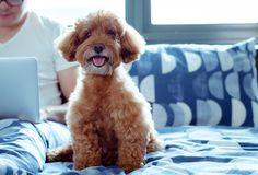 Прелестная коричневая собака пуделя смотря камеру когда насладитесь и счастливый с владельцем который работает на кровати после б стоковое изображение