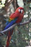 Прелестная красная ара с пушистыми пер на дереве Стоковое Изображение RF