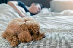 Прелестная молодая коричневая собака пуделя спать на кровати с владельцем с солнечностью на грязной кровати стоковые изображения