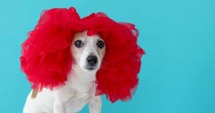 Прелестная небольшая собака в красном парике сток-видео