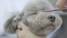 Прелестная собака в любимце парикмахера Салон холить любимчика Близкий поднимающий вверх groomer режет волосы на наморднике небол видеоматериал