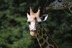 Прелестная сторона жирафа в природе Стоковое Изображение RF