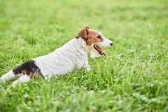 Прелестная счастливая собака терьера лисы на парке Стоковые Изображения RF