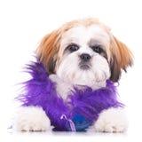 прелестное одетьнное tzu shih щенка Стоковое Изображение