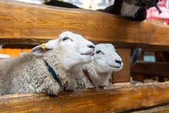 Прелестные овцы на рынке праздника стоковая фотография