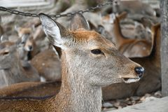 Прелестные олени парка Nara, Японии стоковые фотографии rf