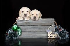 Прелестные щенята labrador представляя на черной предпосылке Стоковое фото RF