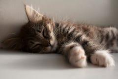 Прелестный котенок tabby спать близко вверх Стоковые Фотографии RF
