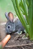 прелестный кролик портрета моркови Стоковое Фото