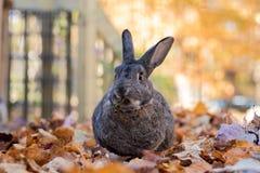 Прелестный серый и белый отечественный кролик зайчика делает смешную сторону по мере того как он жует на свежих листьях осенью Стоковые Изображения RF