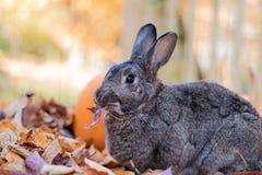 Прелестный серый и белый отечественный кролик зайчика ест свежие кленовые листы осенью Стоковая Фотография