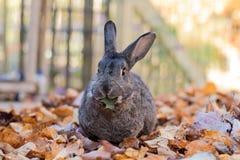 Прелестный серый и белый отечественный кролик зайчика жует на свежих листьях осенью Стоковое Фото