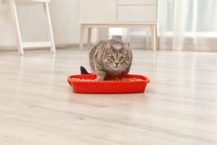 Прелестный серый кот около коробки сора внутри помещения стоковое изображение