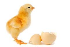 прелестный цыпленок младенца стоковое фото rf