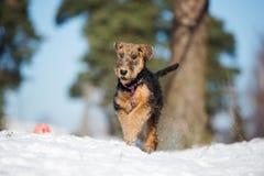 Прелестный щенок терьера airedale бежать outdoors в зиме Стоковое Изображение