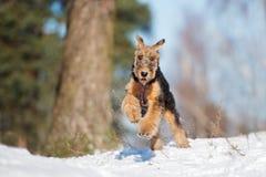 Прелестный щенок терьера airedale бежать outdoors в зиме Стоковое Фото