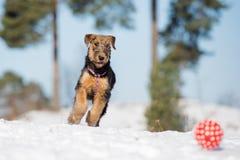 Прелестный щенок терьера airedale играя outdoors в зиме Стоковое Фото