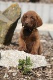 Прелестный щенок retriever чесапикского залива на камне Стоковая Фотография RF