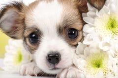 Прелестный close-up щенка чихуахуа Стоковая Фотография