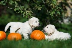 2 прелестных щенят золотых retriever играя с тыквами Стоковое Изображение
