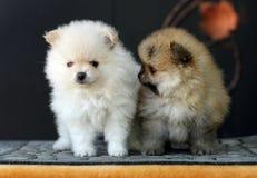 2 прелестных щенят Pomeranian Стоковое Фото