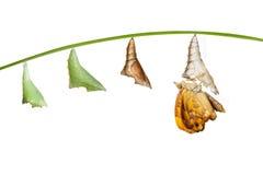 Преобразование от chrysalis к женщине сиамского черного butterfl принца Стоковые Фото