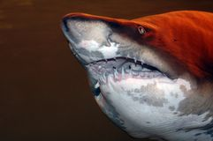 преогромная акула Стоковая Фотография